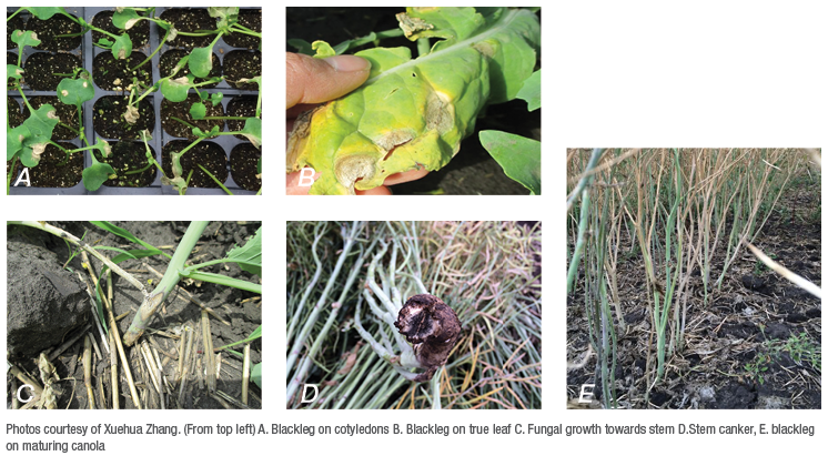 Blackleg symptoms through canola growth stages