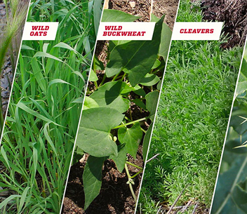 Spectrum of weeds image - Fighting the Toughest Weeds in Western Canada article image