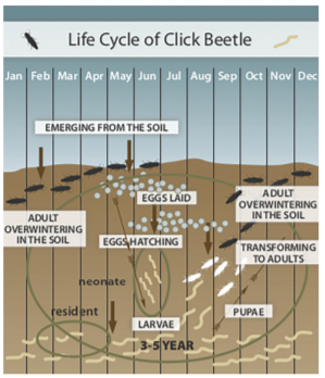 Infographic of the life cycle of click beetle. Summer eggs are laid, they hatch and become larvae. They stay as larvae for 3-5 years until they transform into adults in the fall. Adults overwinter and then emerge from the soil in the spring.