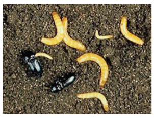 Click beetle and larvae in the soil.