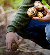 Potatoes protected from the effects of nematodes using Bayer Nematicide products.