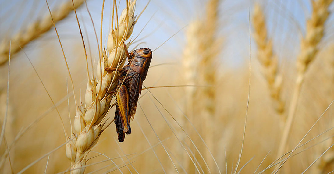 Unwanted pests destroying crop yield can be prevented with Bayer insecticide products.