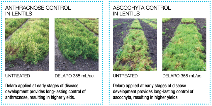 Anthracnose lentils treated with Delaro vs. untreated. Ascochyta lentils treated with Delaro vs. untreated.