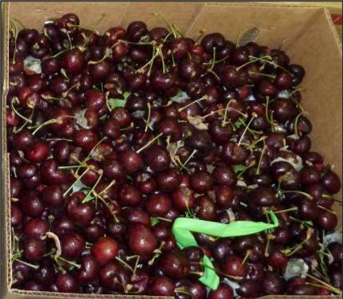 Cherry harvest quality treated with Luna Sensation fungicide