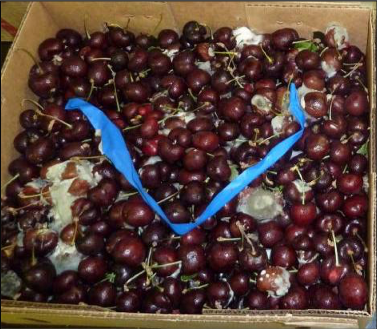 Cherries harvest quality from a conventional program