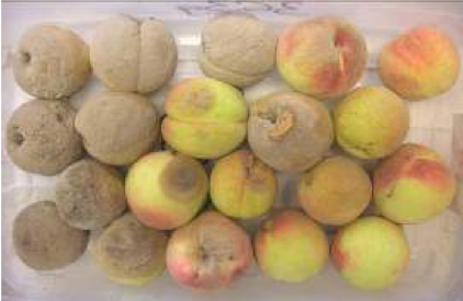 Untreated peaches with Monilinia Fruit Rot