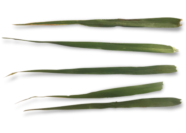 Treated barley leaves with Prosaro PRO + NIS (leaves are a healthy, bright green color throughout)