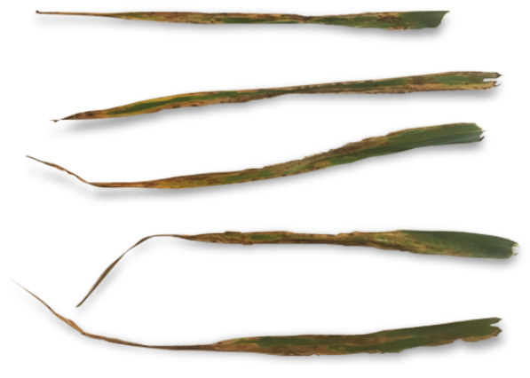 Untreated barley leaves exhibiting symptoms of net blotch (leaf has brown lesions surrounded by yellow leaf tissue)