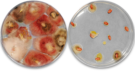 Seeds treated with Raxil Pro versus untreated seeds where there is a noticeable advantage to using Raxil.