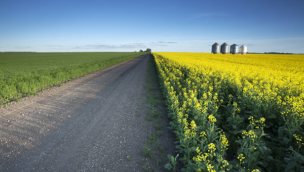 Canola fungicide timing