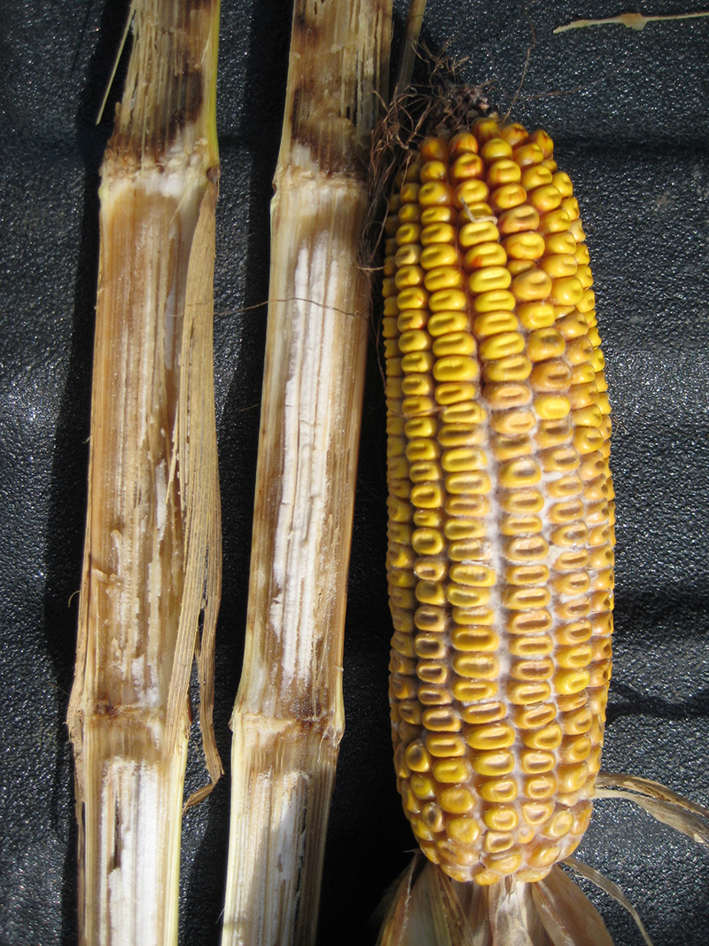 Diplodia ear and stalk rot