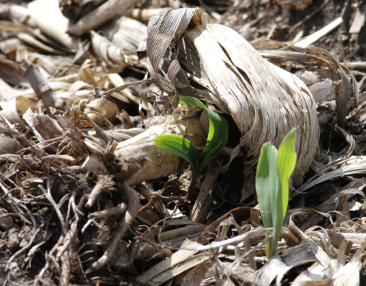 Residue impeding corn emergence