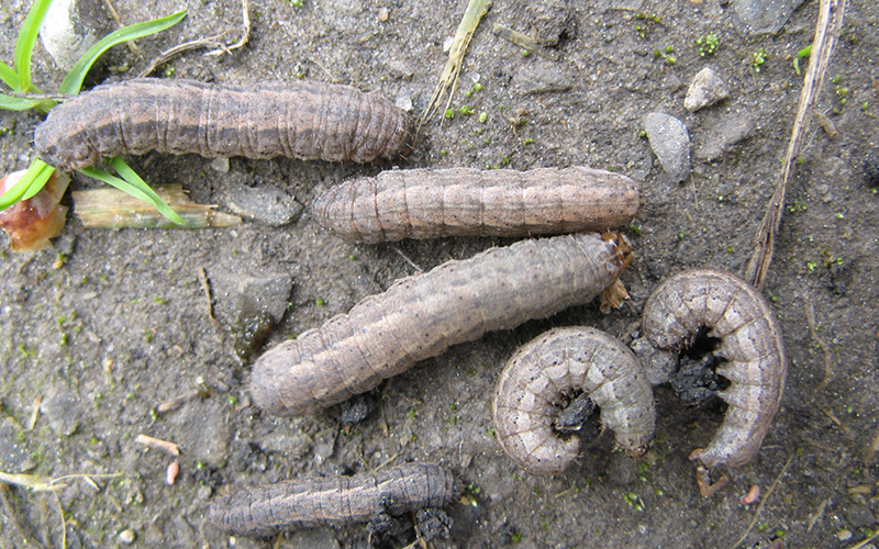 Cutworm with prolegs visible on abdomen.