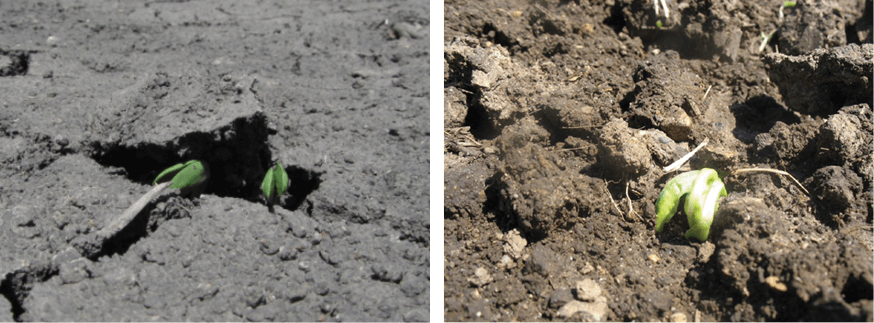 Soybeans emerging through crusted soil (left); Corn leafing out under crusted soil conditions (right).