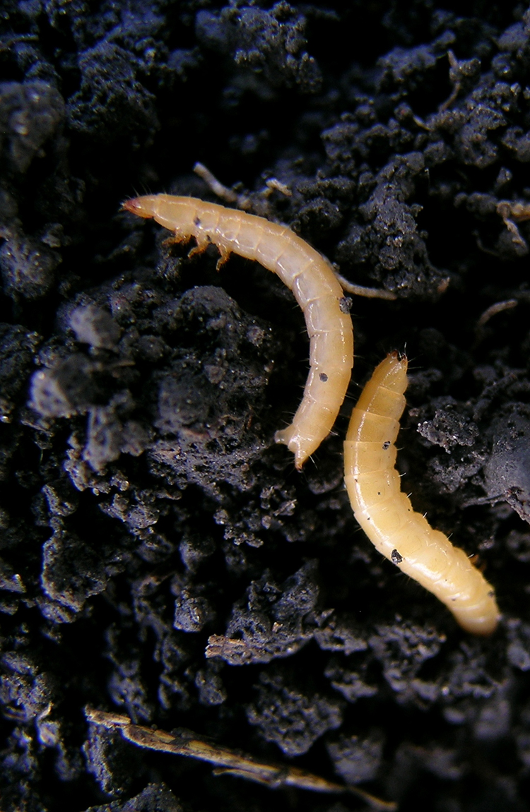 Example of wireworms from wheat field