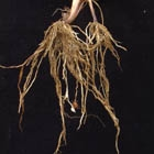 Yellow Nutsedge Root With Tubers