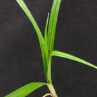 Yellow Nutsedge Stem