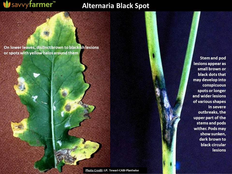 alternaria black spot