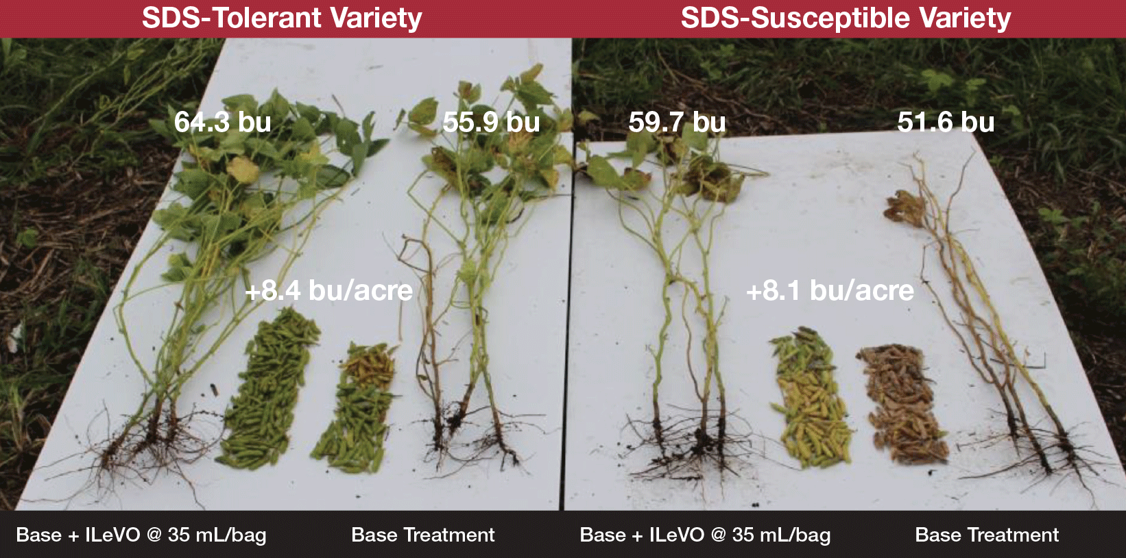 ILeVO treatment of soybean varieties with varying SDS susceptibility.