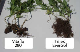 Improved lentil root systems using Trilex EverGol vs. Vitaflo 280