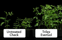 Improved control of rhizoctonia using Trilex EverGol vs. untreated